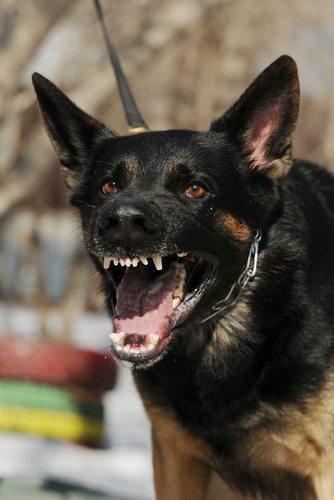 dog expert vicious dog