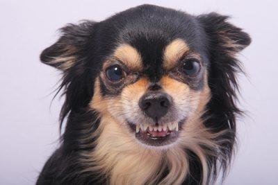 Chihuahua aggressive