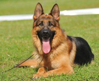 german shepherd dog bite statistics and information