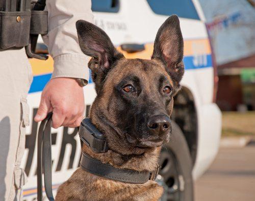 Retired police canine in California viciously attacks  good Samaritan