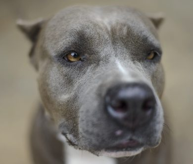 Are pit bulls more dangerous than other dog breeds?