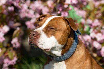 pit bull dog bite expert
