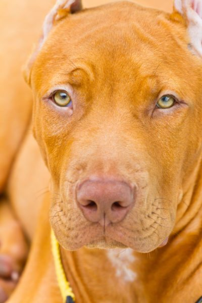 Pit bulls seized from fighting rings in CA. not necessarily vicious